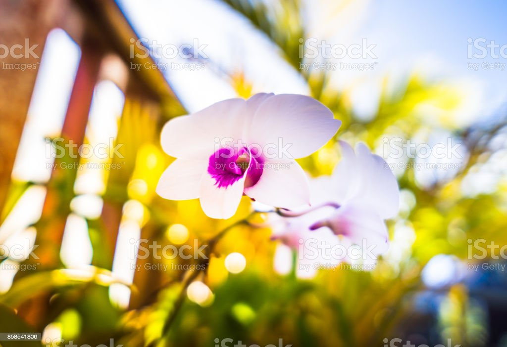 White Orchid Flowers in Garden stock photo