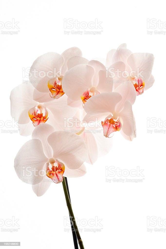 White orchid (Phalaenopsis) flowers, isolated royalty-free stock photo