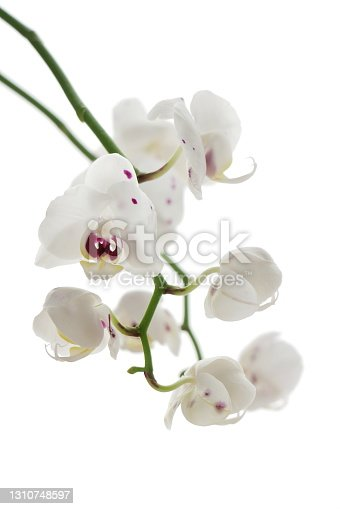 istock White orchid flowers 1310748597