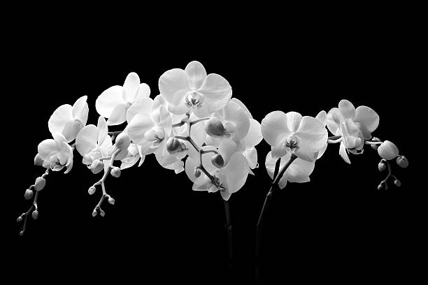 Best White Orchid Stock Photos, Pictures & Royalty-Free ...