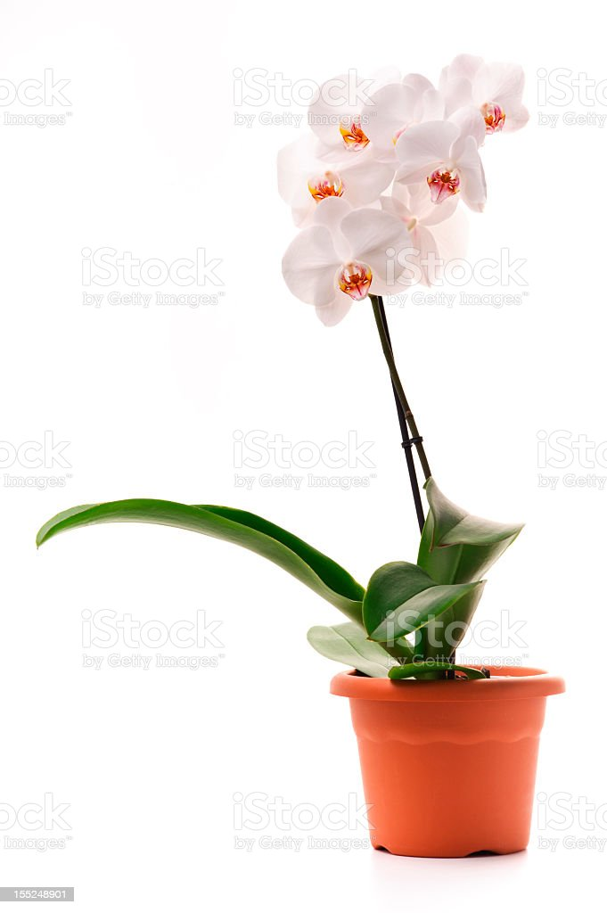White orchid (Phalaenopsis) in a flowerpot stock photo