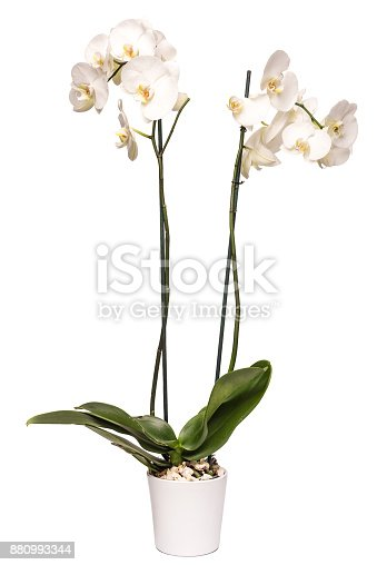 White orchid in a pot isolated on white high quality and high resolution studio shoot