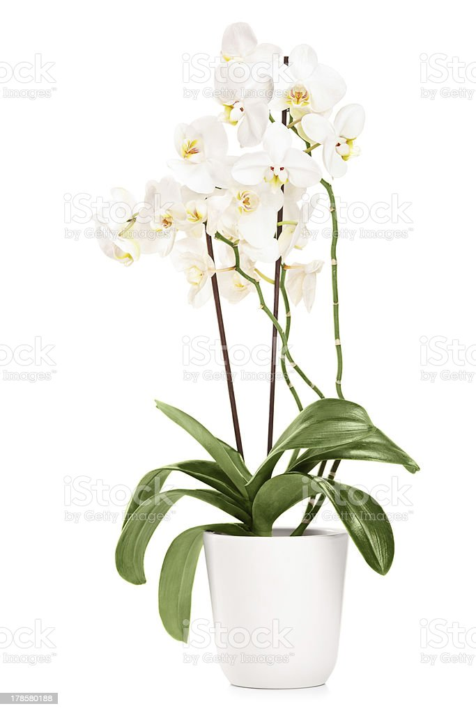 White orchid in a pot with many flowers stock photo