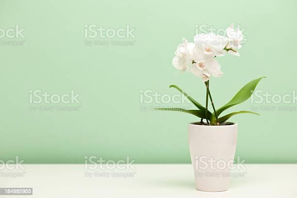 White orchid in a white case against mint green background picture id184985955?b=1&k=6&m=184985955&s=612x612&h=rkxguq6e1u2woqkhzpsz1vi6a3hyhqbcrnwzytssg30=
