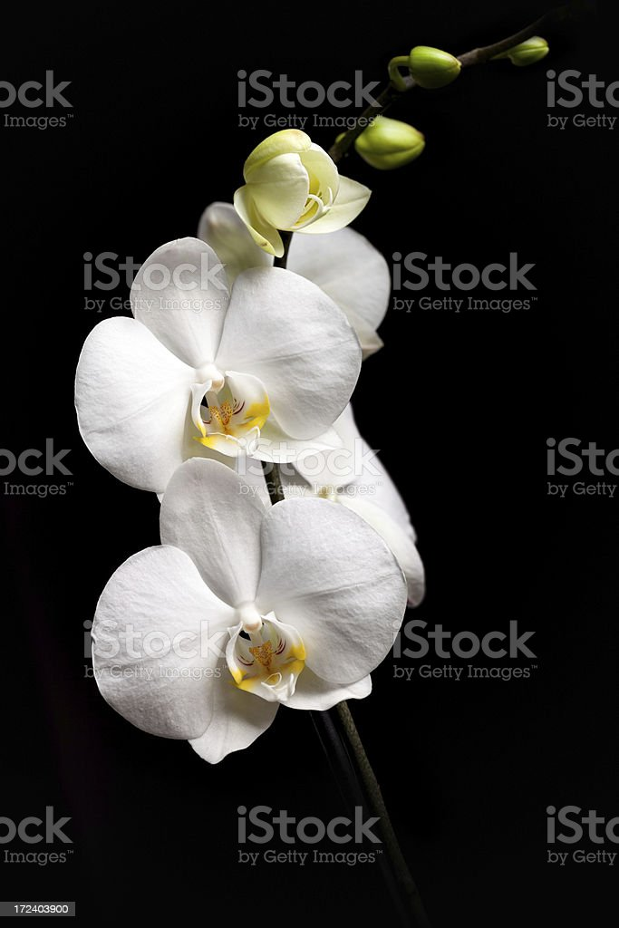 White orchid isolated on black background royalty-free stock photo