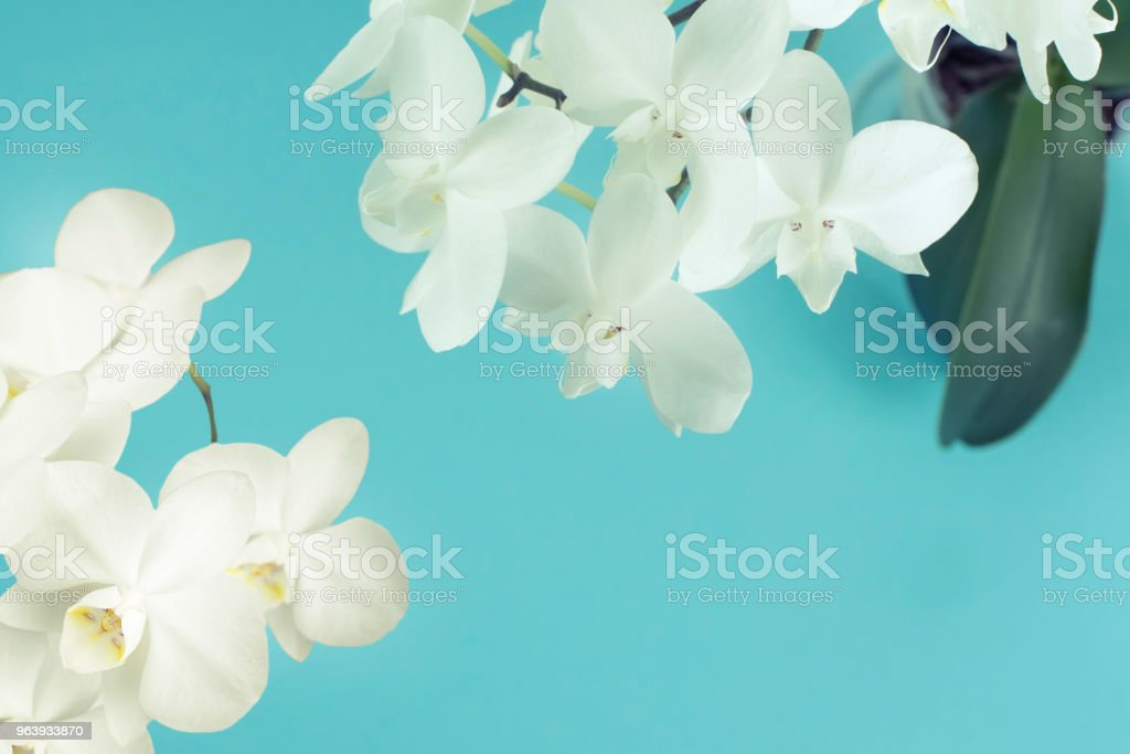 White Orchid on a blue background. - Royalty-free Affectionate Stock Photo