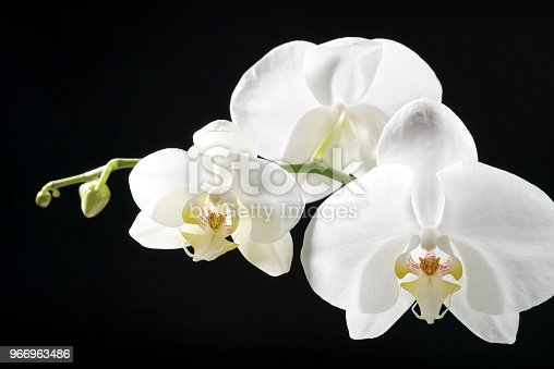 White orchid on black background.