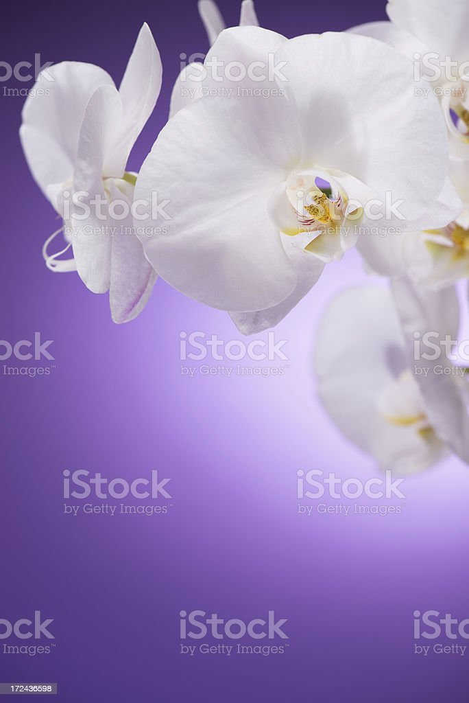 White Orchid on purple background royalty-free stock photo