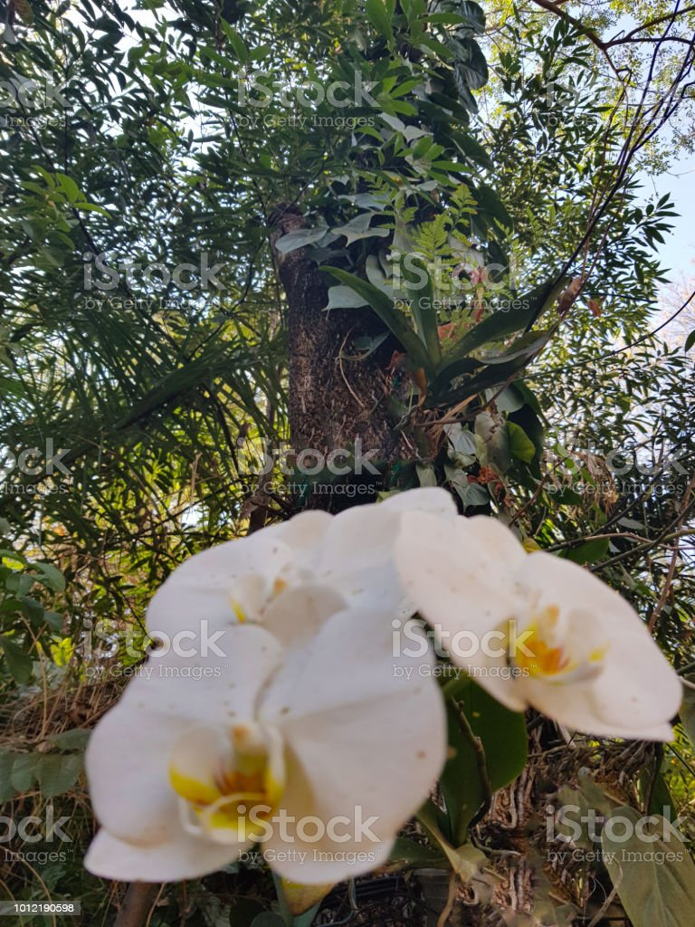 White orchid or Phalaenopsis with its open flowers on tree trunk