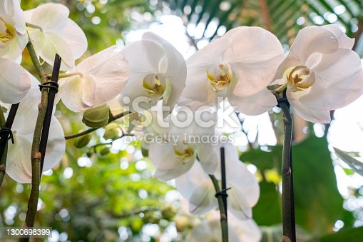 white orchid phalaenopsis in the greenhouse close-up, blurred background, selective focus, breeding of rare species of orchids