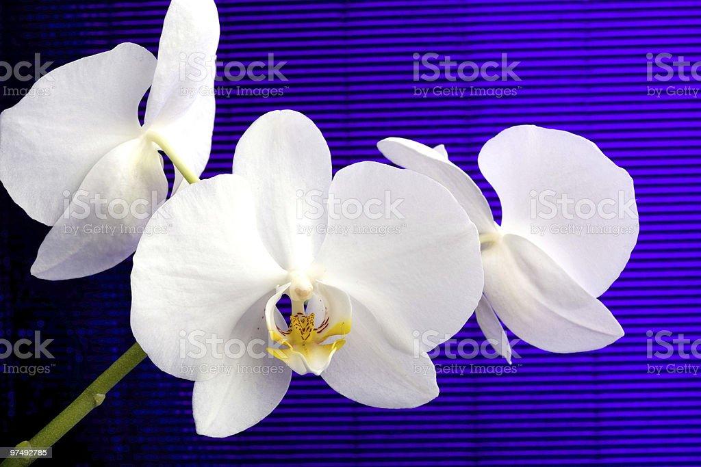 white orchid phalaenopsis royalty-free stock photo