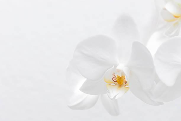 Weiße Orchidee – Foto