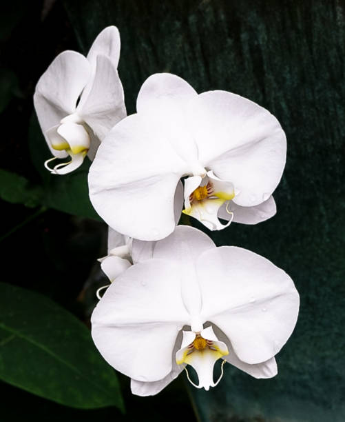A White Orchid stock photo