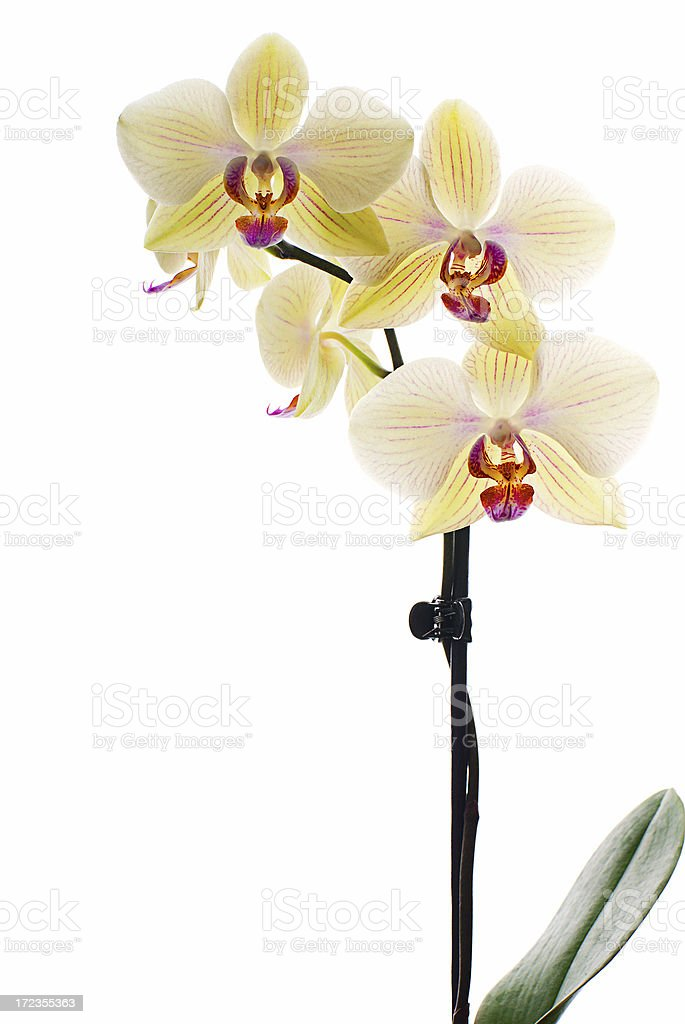 White orchid royalty-free stock photo