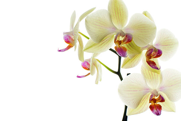 White orchid A white orchid, macro vanilla orchid stock pictures, royalty-free photos & images