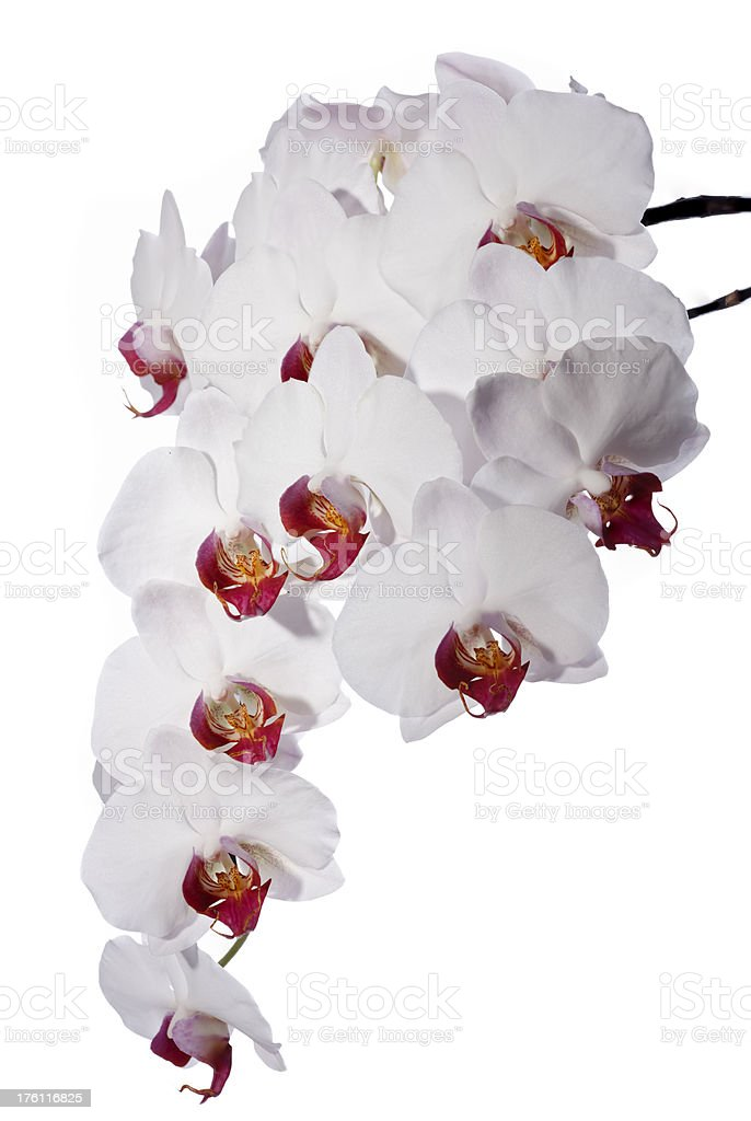 White Orchid (Phalaenopsis) royalty-free stock photo