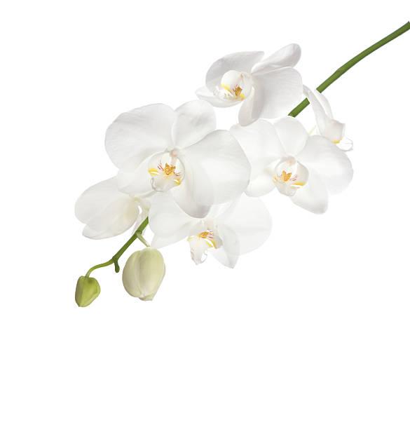White orchid picture id532388832?b=1&k=6&m=532388832&s=612x612&w=0&h=k82lbq qnxqm2ddczfqtih8 bdkcqnyrexcp6ojrgdu=