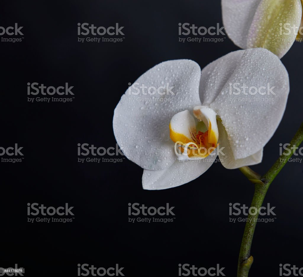 White orchid, weiße Orchidee stock photo