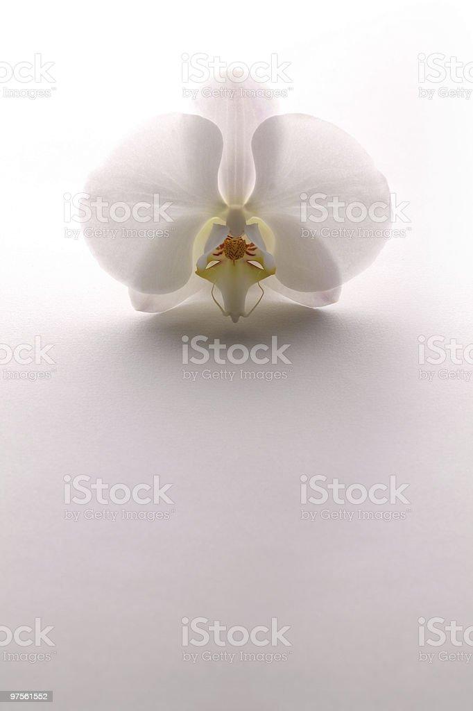 Blanc, Orchidée photo libre de droits