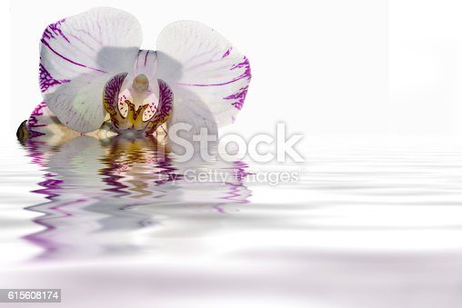 Beautiful floral background with delicate white orchid flower with burgundy veins close up on a white background with reflection in water
