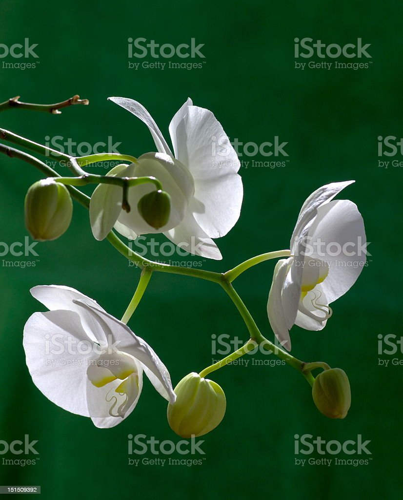 white orchid with buds royalty-free stock photo