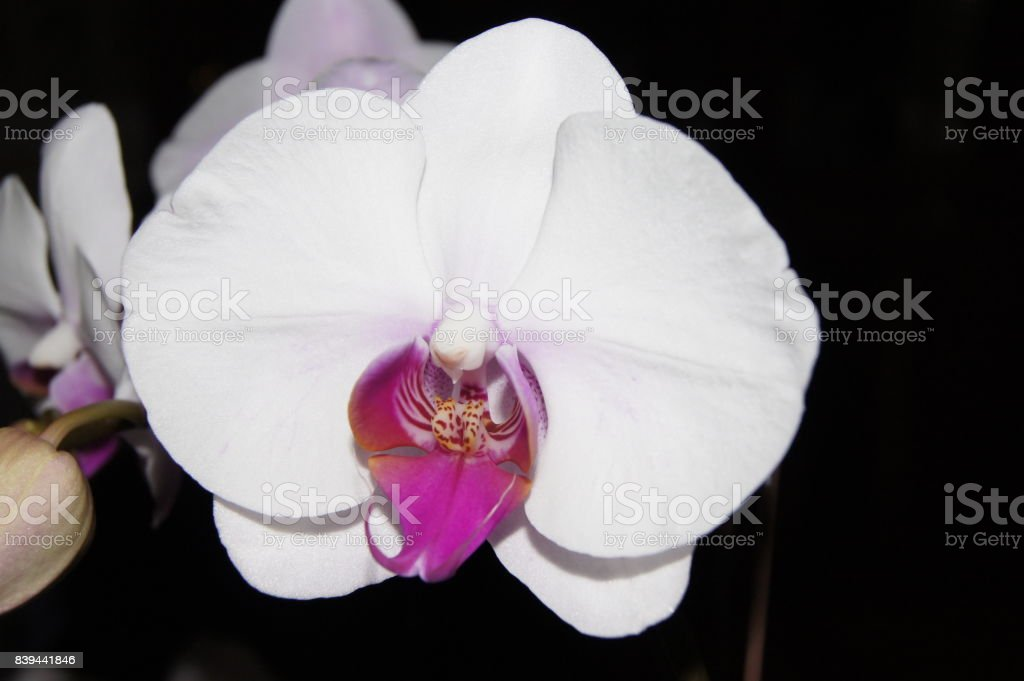 White Orchid with Pink Center stock photo