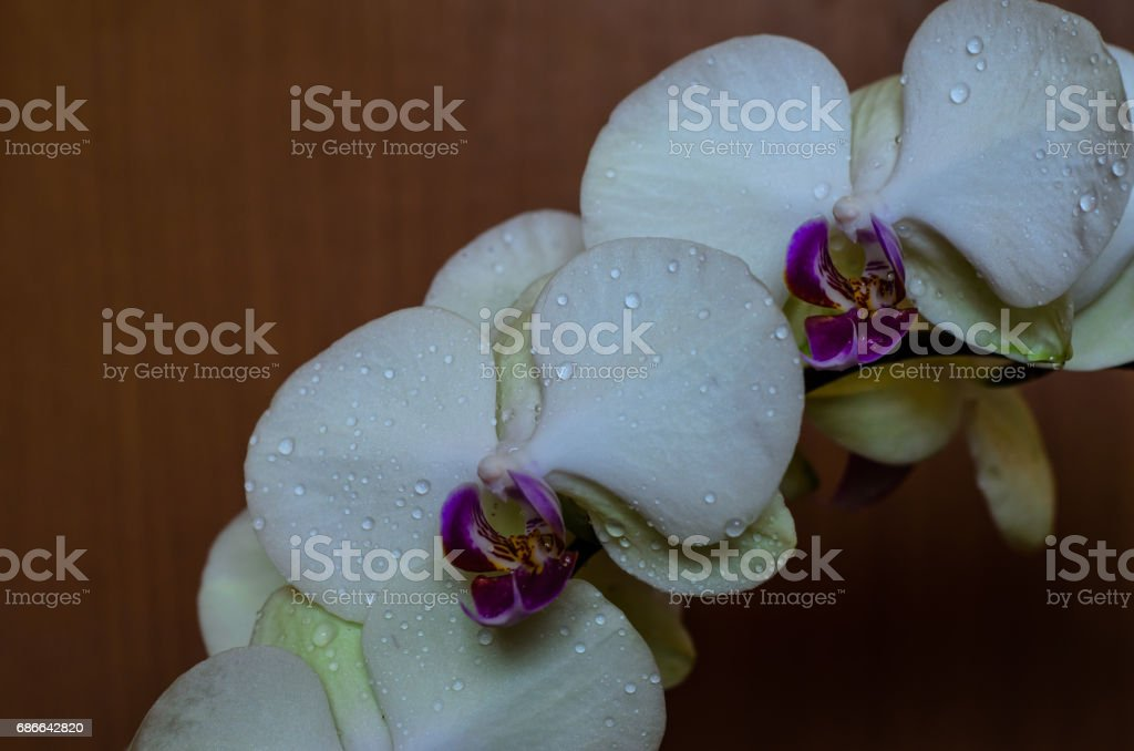 White orchid with the drops of water royalty-free stock photo