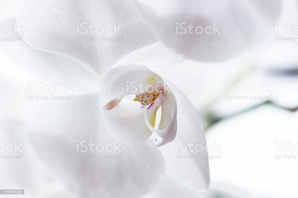 White Orchidea stock photo