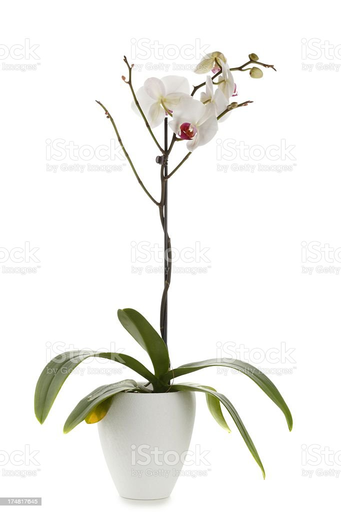White Orchidee in flower pot isolated royalty-free stock photo