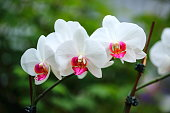 White Orchids in Blurred Background