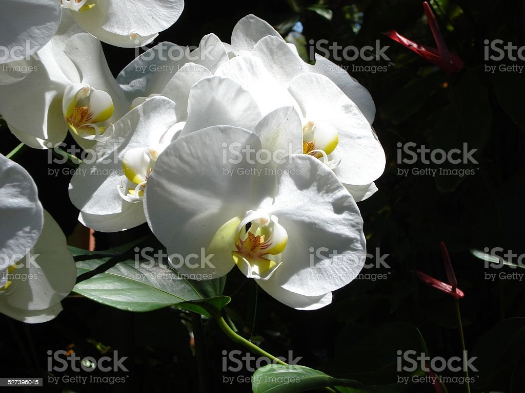 White Orchids in Garden stock photo