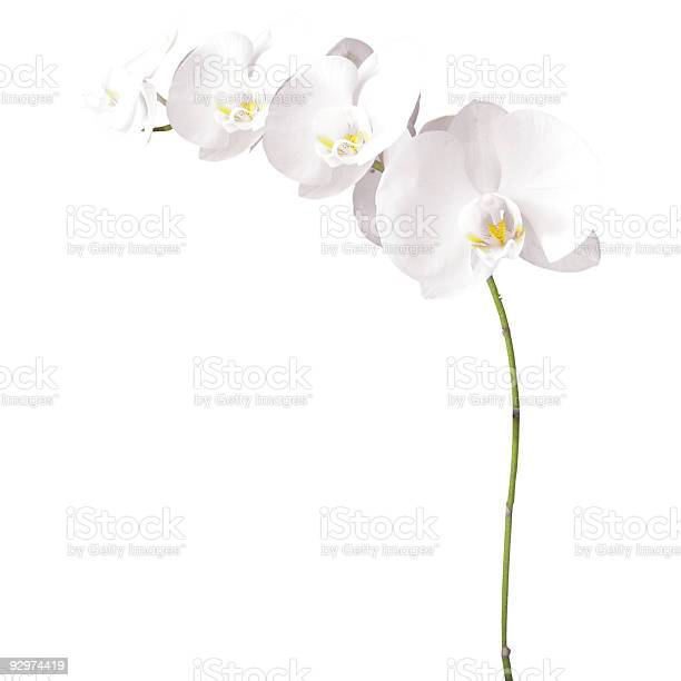 White orchids isolated picture id92974419?b=1&k=6&m=92974419&s=612x612&h=dhzyp z8gvfkxy4xea13ydq3wny9fdkmu0ncp1 itcc=