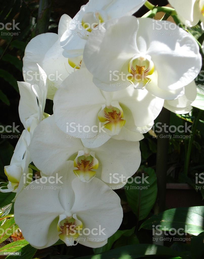 White Orchids Outdoors stock photo