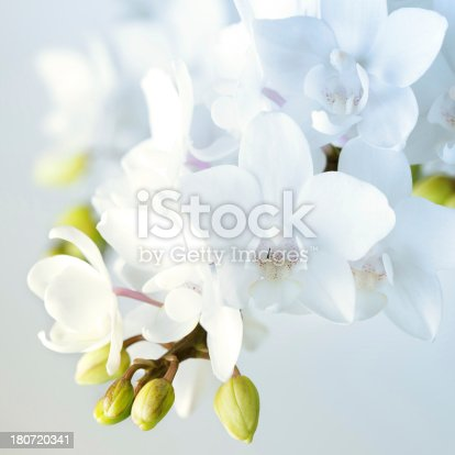 Beautiful white orchid flowers. Macro photography.