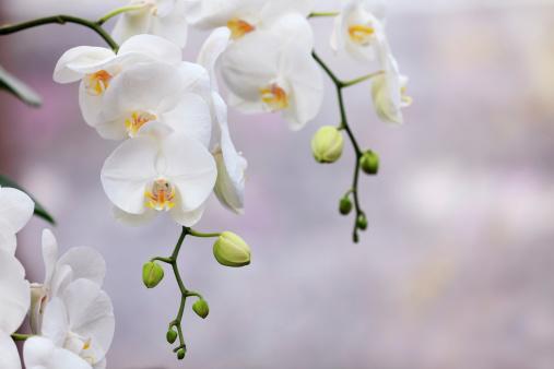 Beautiful white orchids.