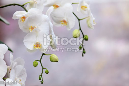 Beautiful white orchids.