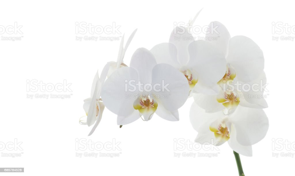 white orchids foto de stock libre de derechos