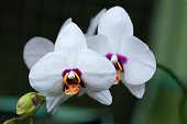 White orchids with a deep red purple center and yellow orange pouch, on a dark green background. Barbados, West Indies, Caribbean.