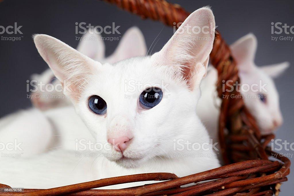 White oriental shorthair cats in a wicker basket (close-up) - foto de stock