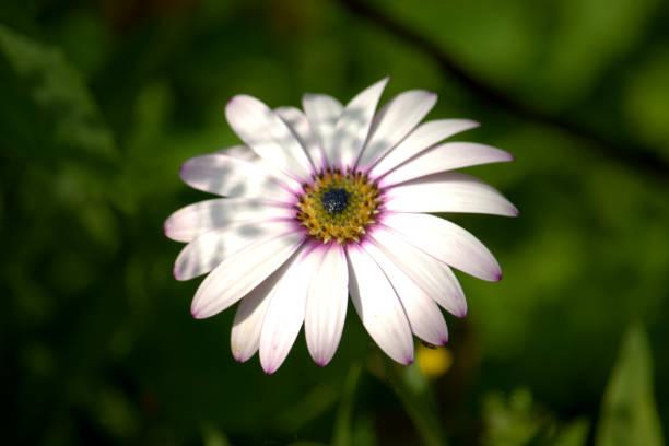 Flor de osteospermum branco, uma margarida como flor - foto de acervo