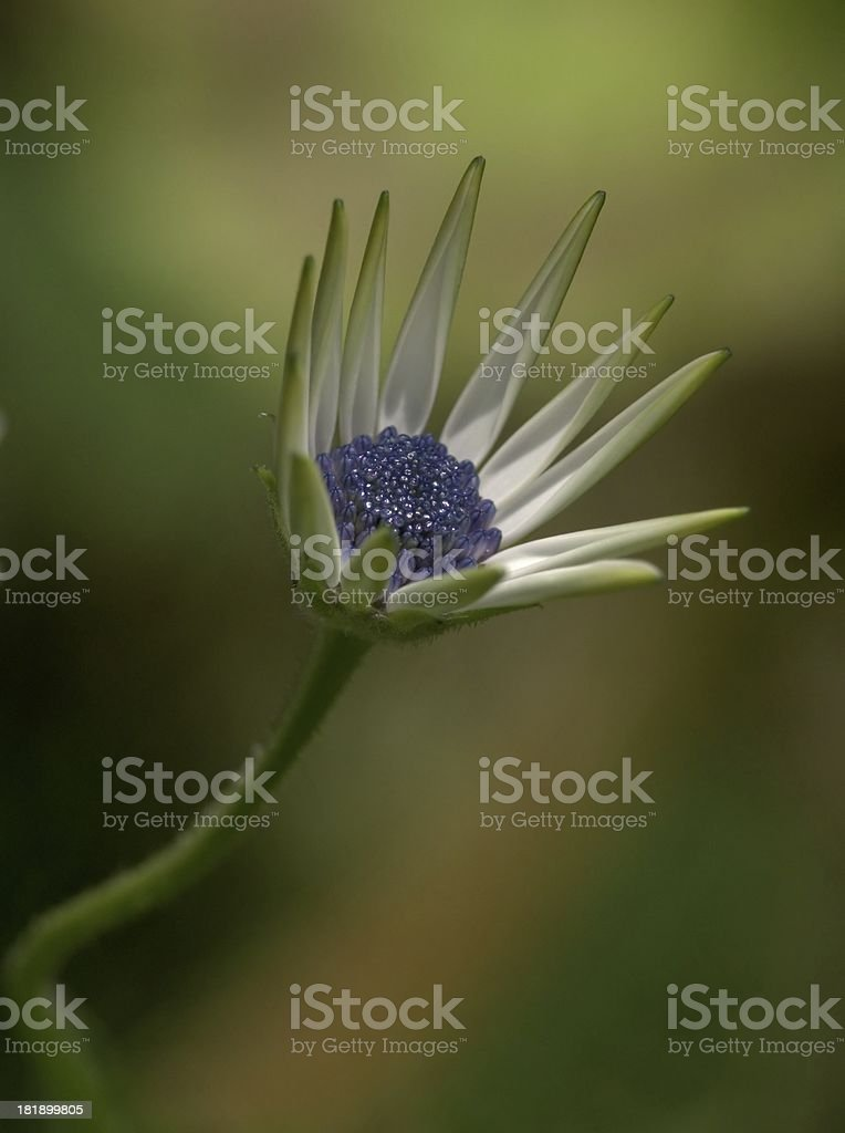 White Osteospermum flower royalty-free stock photo