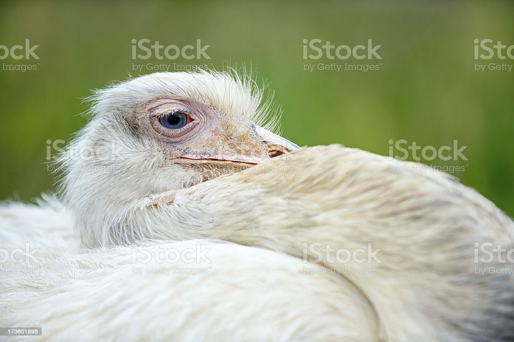 White ostrich resting in nature royalty-free stock photo