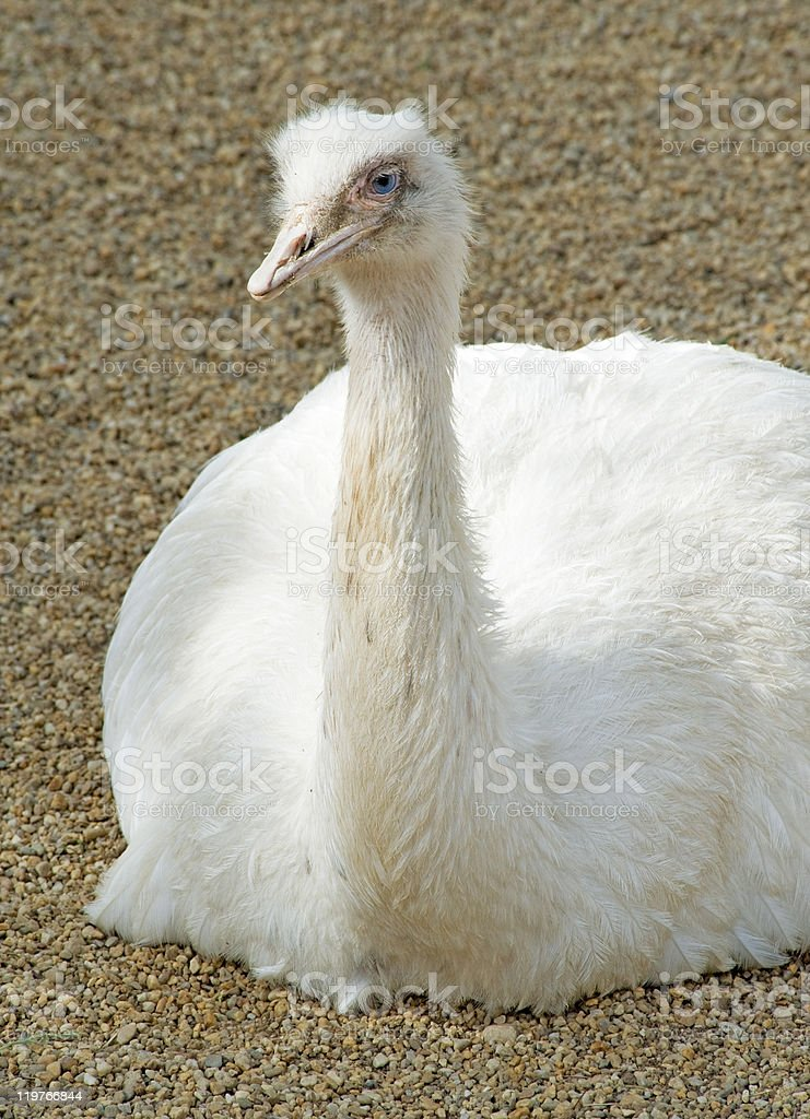 White ostrich sitting royalty-free stock photo