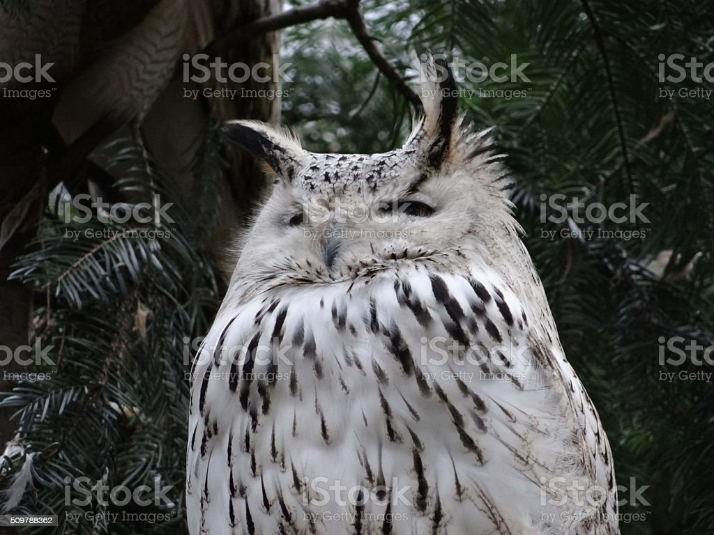 White owl close-up stock photo