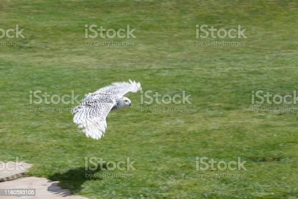 White owl flying over the grass in spain picture id1160593105?b=1&k=6&m=1160593105&s=612x612&h=u3rg6ybllxbg9gyiafdprwt7fwkxtgjutt4bc6x6oks=