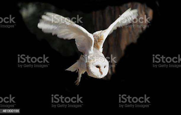 White owl flying picture id461300155?b=1&k=6&m=461300155&s=612x612&h=yld35cma3sf3wajus ljuesmbtd1gmoityvhowtf6v4=