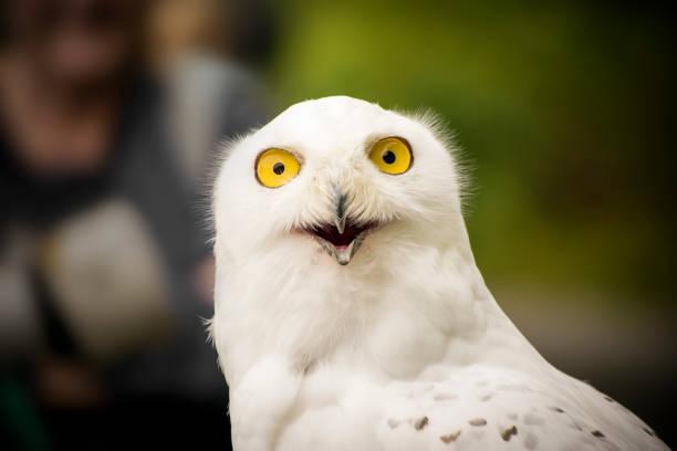 White owl looking happy picture id1058843138?b=1&k=6&m=1058843138&s=612x612&w=0&h=mxvk0rrwtvh0uks qcnbvofhbvmyy 0nwxgjl97x6fi=
