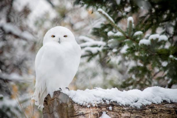White owl picture id904337330?b=1&k=6&m=904337330&s=612x612&w=0&h=kn9zmyl rpsrfaifmuljpmbf0yy73b 4ix1hjelgpxy=