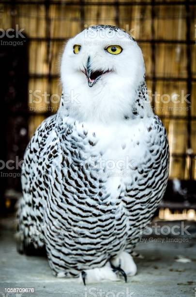 White owl with an open beak picture id1058709676?b=1&k=6&m=1058709676&s=612x612&h=1akb8ftdm4pawqelmub7jtkbhmdeghjjcvqhpuhhqs4=