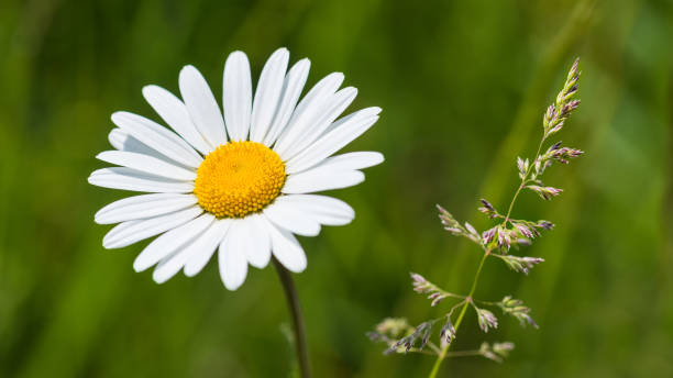 White ox-eye daisy and grass spikelet in spring meadow. Leucanthemum vulgare stock photo